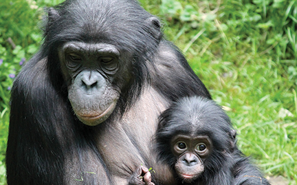 Bonobo coloring #14, Download drawings