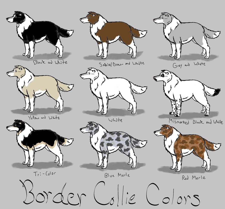 Collie coloring #5, Download drawings