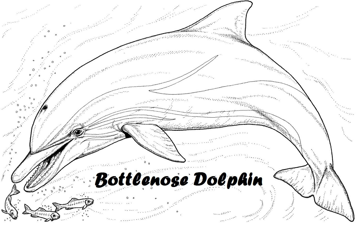 Bottlenose coloring Download Bottlenose coloring for free