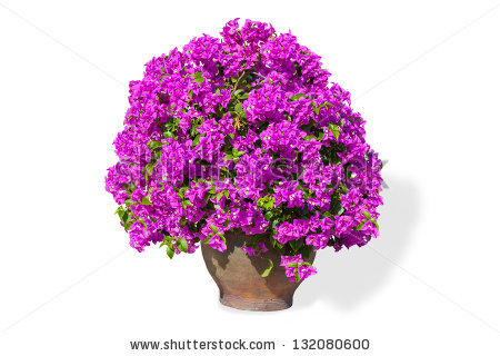 Bougainvillea clipart #16, Download drawings