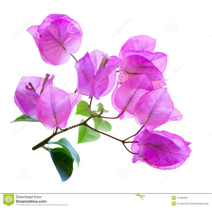Bougainvillea clipart #9, Download drawings