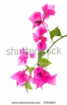 Bougainvillea clipart #12, Download drawings