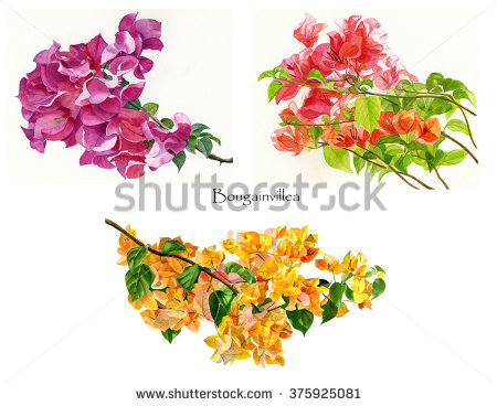 Bougainvillea clipart #8, Download drawings