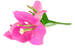 Bougainvillea clipart #10, Download drawings