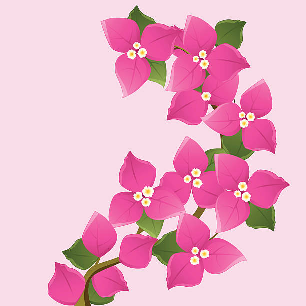 Bougainvillea clipart #18, Download drawings