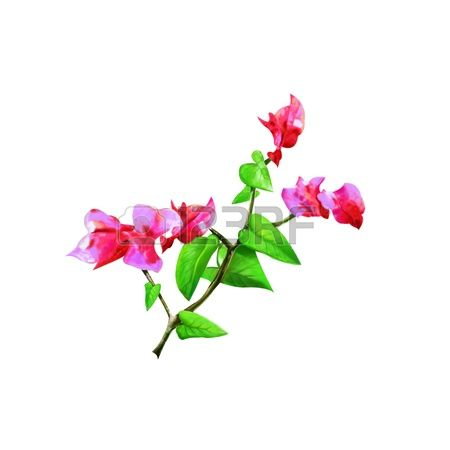 Bougainvillea clipart #15, Download drawings