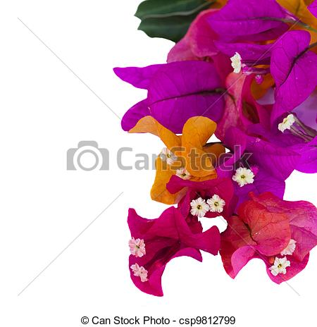 Bougainvillea clipart #14, Download drawings