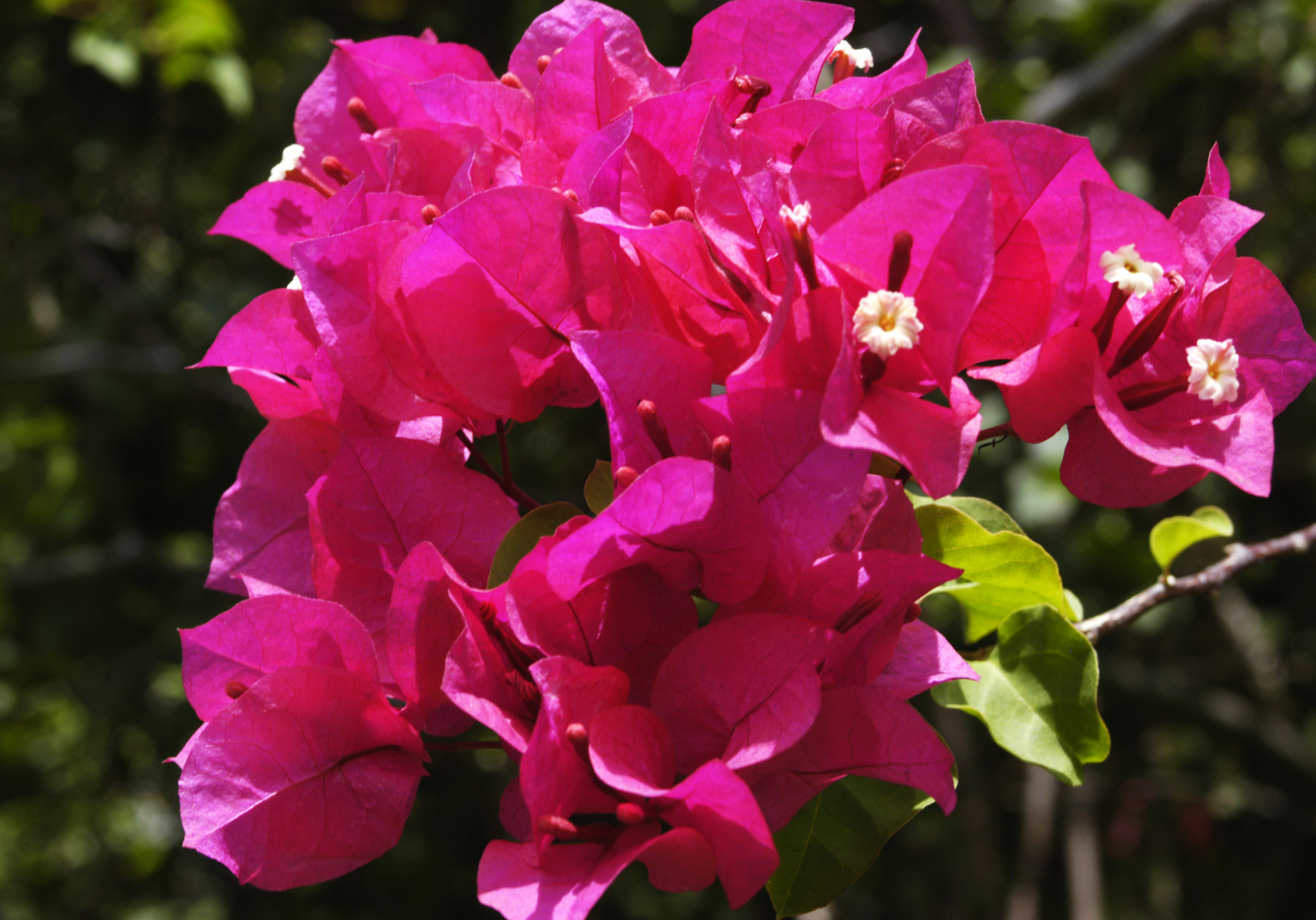 Bougainvillea svg #17, Download drawings