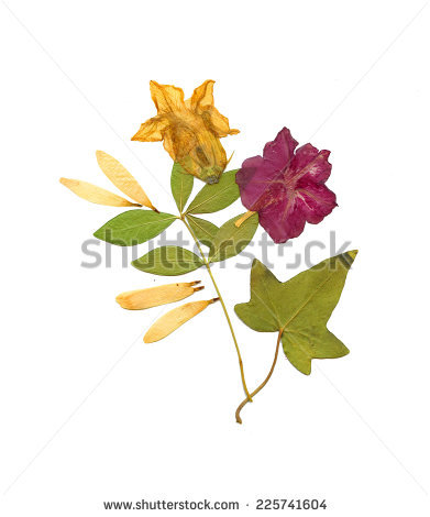 Bougainvillea svg #10, Download drawings
