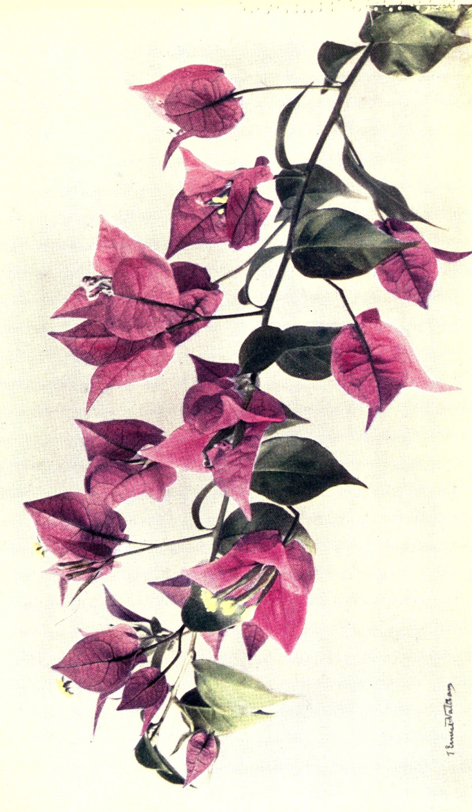 Bougainvillea svg #3, Download drawings
