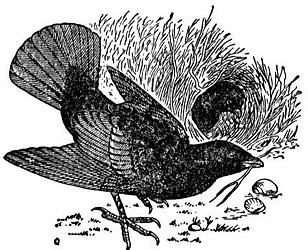 Bowerbird clipart #8, Download drawings