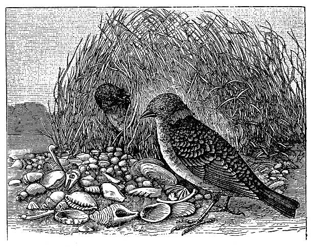 Bowerbird clipart #11, Download drawings