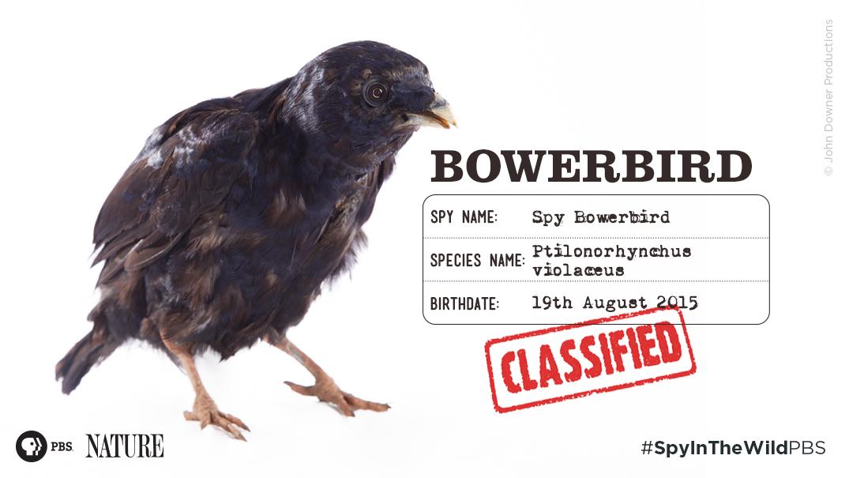 Bowerbird svg #4, Download drawings