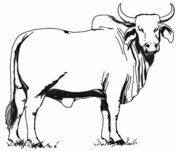 Brahman Bull clipart #9, Download drawings