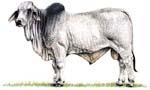 Brahman Bull clipart #17, Download drawings