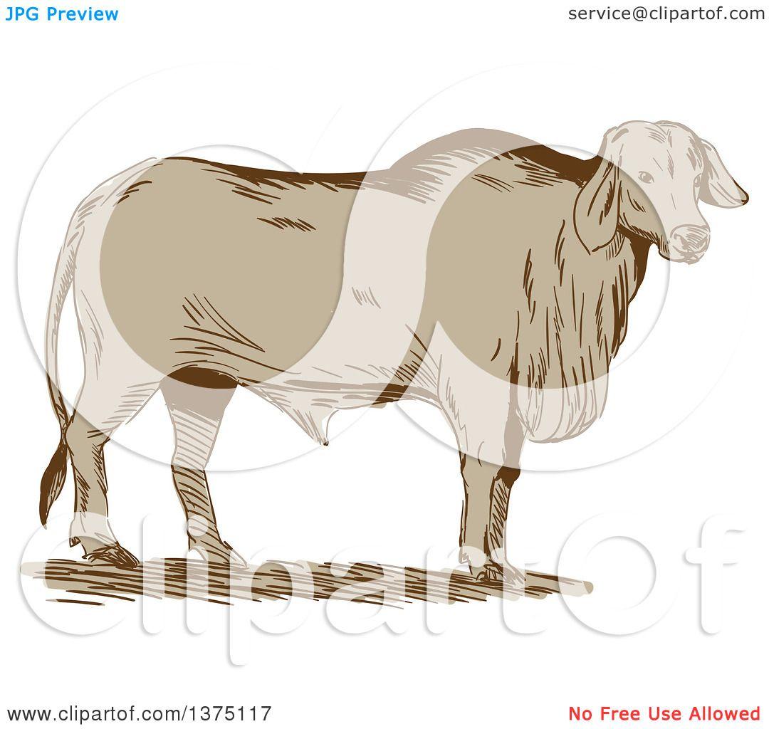 Brahman Bull clipart #15, Download drawings
