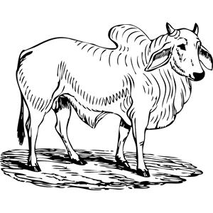 Brahman Bull clipart #12, Download drawings