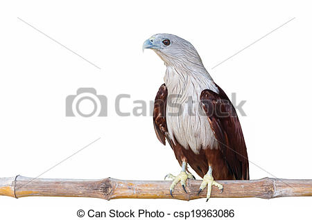 Brahminy Kite clipart #9, Download drawings