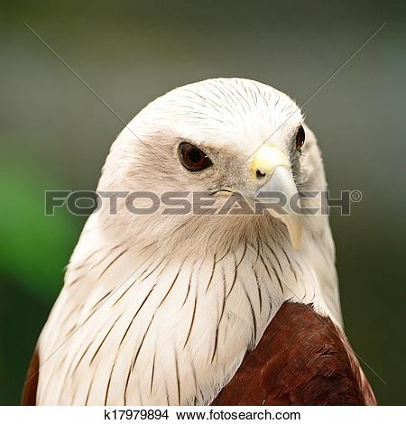 Brahminy Kite clipart #7, Download drawings