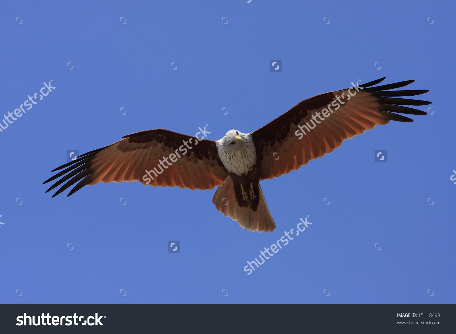 Brahminy Kite clipart #1, Download drawings