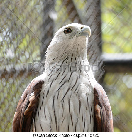 Brahminy Kite clipart #2, Download drawings