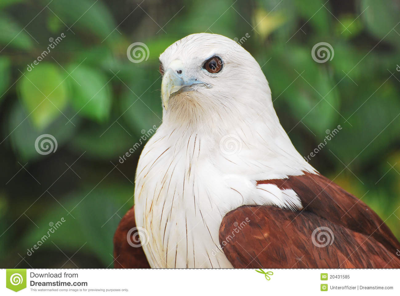 Brahminy Kite clipart #11, Download drawings