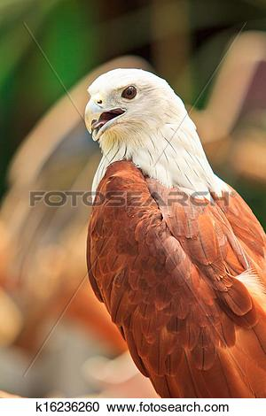 Brahminy Kite clipart #17, Download drawings