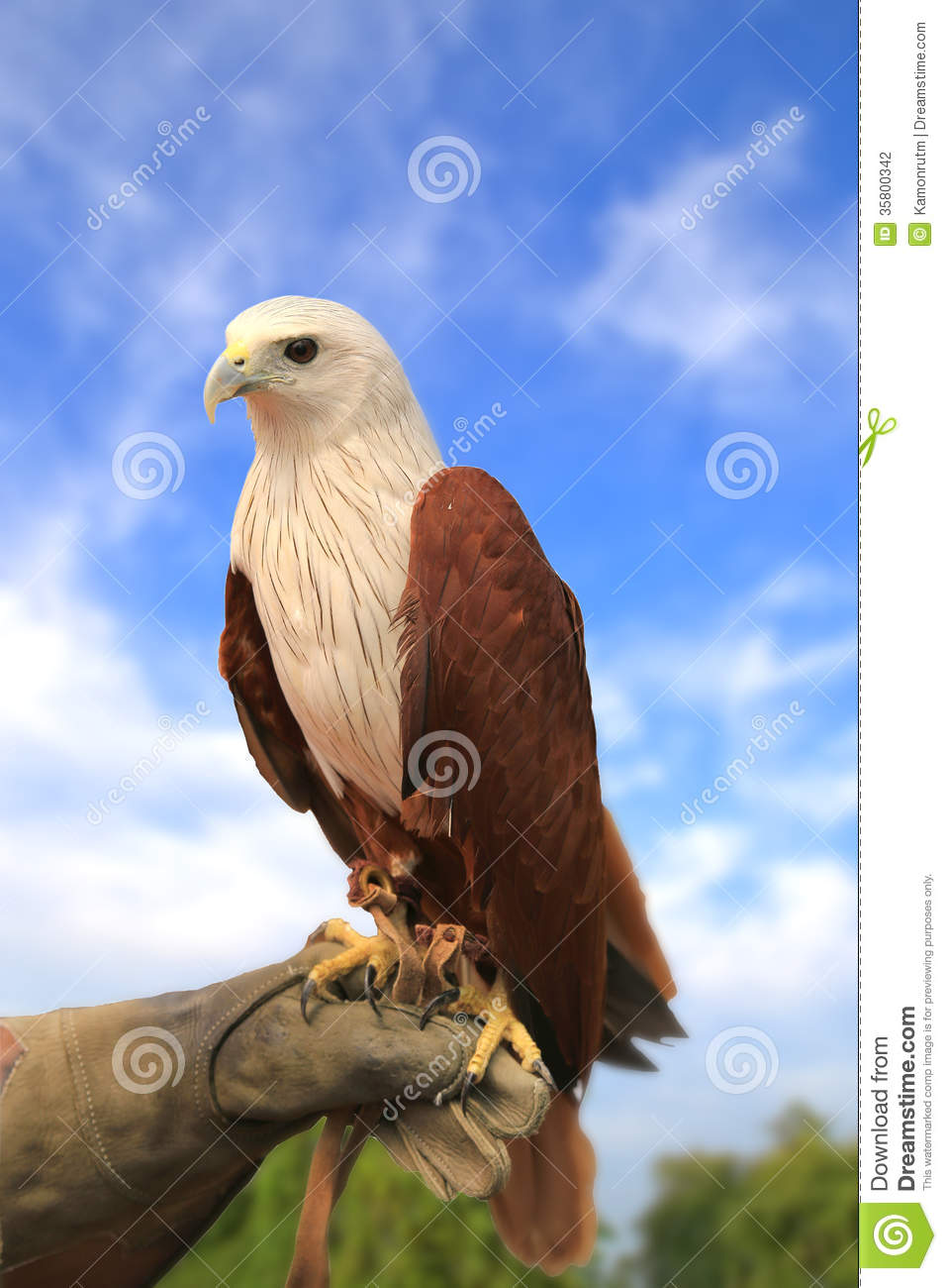 Red-backed Sea-eagle clipart #20, Download drawings