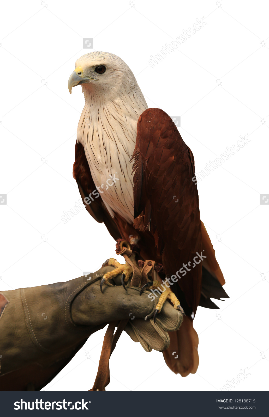 Red-backed Sea-eagle clipart #18, Download drawings
