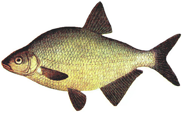 Bream clipart #3, Download drawings