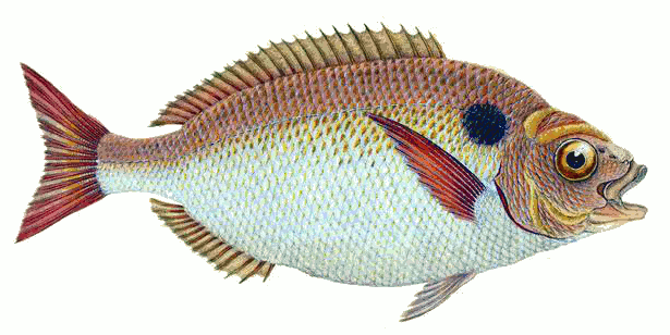 Bream clipart #4, Download drawings