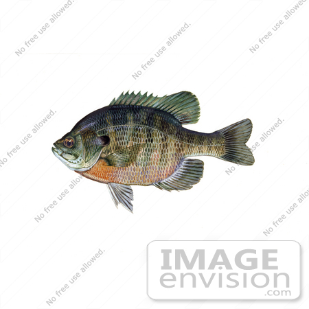Bream clipart #13, Download drawings