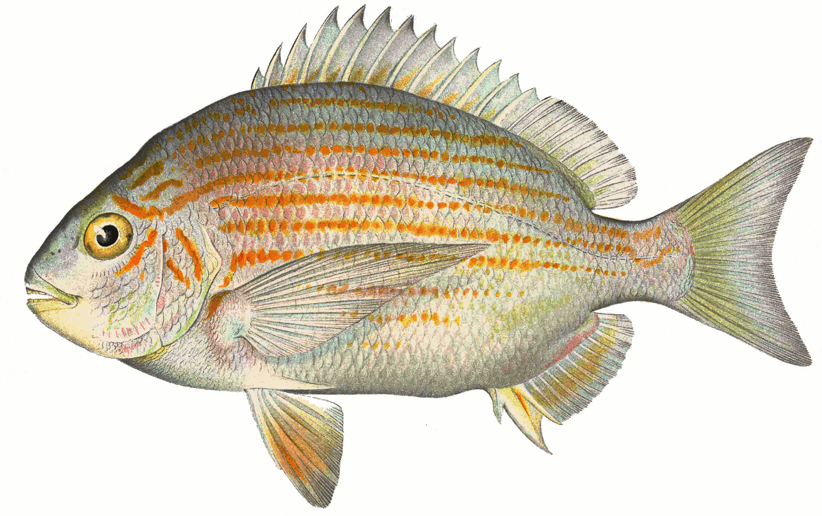 Bream clipart #2, Download drawings