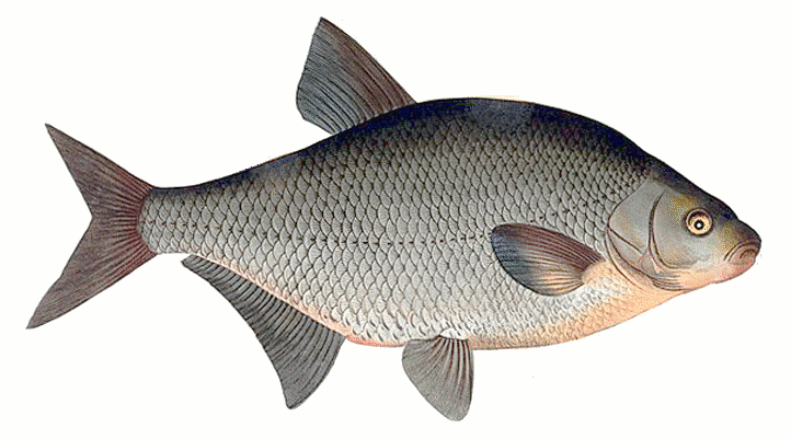 Bream clipart #8, Download drawings