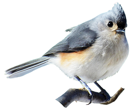 Bridled Titmouse clipart #6, Download drawings