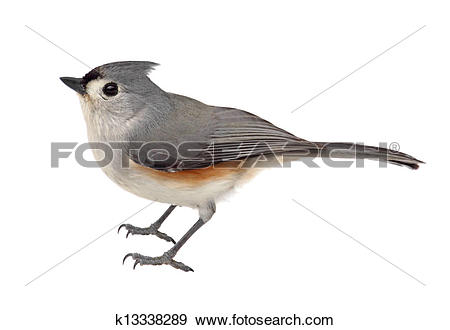 Bridled Titmouse clipart #9, Download drawings