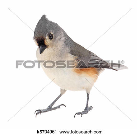 Bridled Titmouse clipart #12, Download drawings