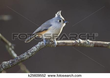 Bridled Titmouse clipart #18, Download drawings