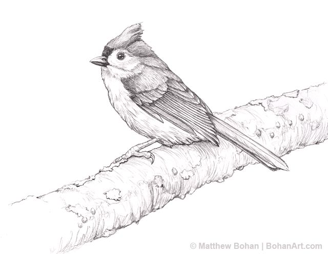 Bridled Titmouse coloring #6, Download drawings
