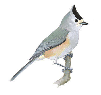 Bridled Titmouse clipart #1, Download drawings