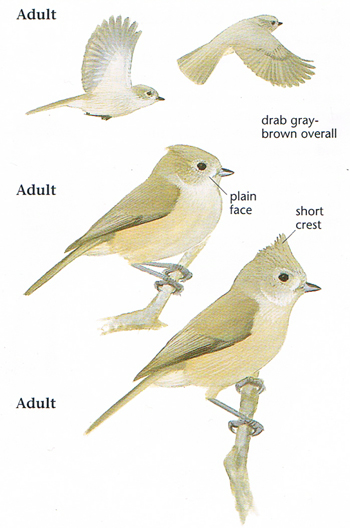 Bridled Titmouse coloring #19, Download drawings