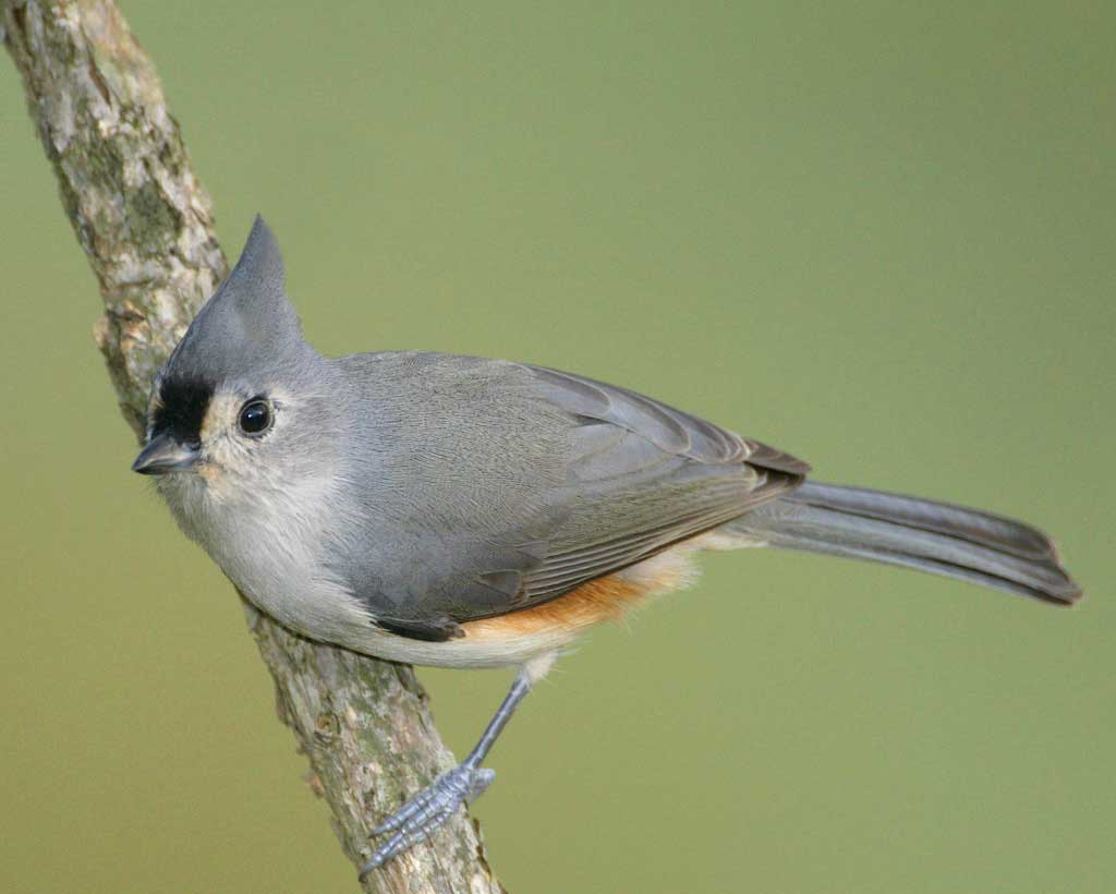 Bridled Titmouse coloring #12, Download drawings
