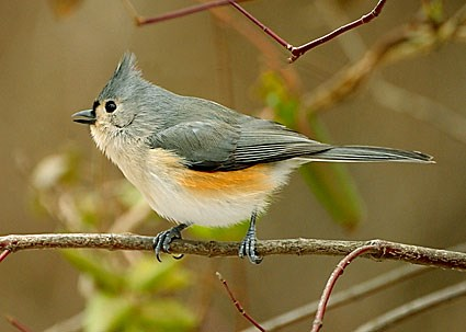 Bridled Titmouse coloring #17, Download drawings