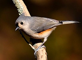 Bridled Titmouse coloring #16, Download drawings