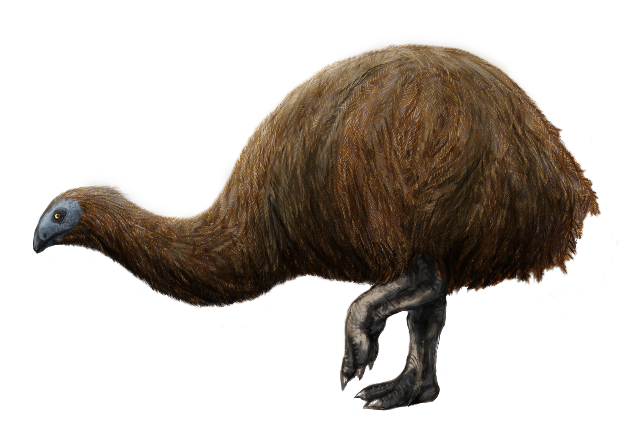 Broad-billed Moa clipart #19, Download drawings