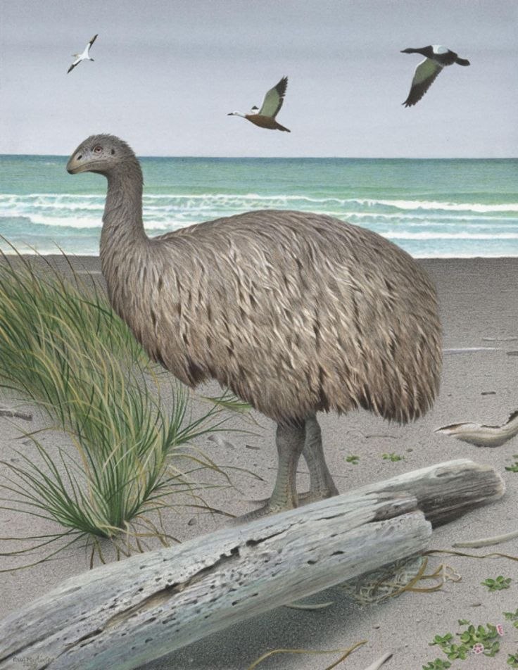 Broad-billed Moa clipart #13, Download drawings