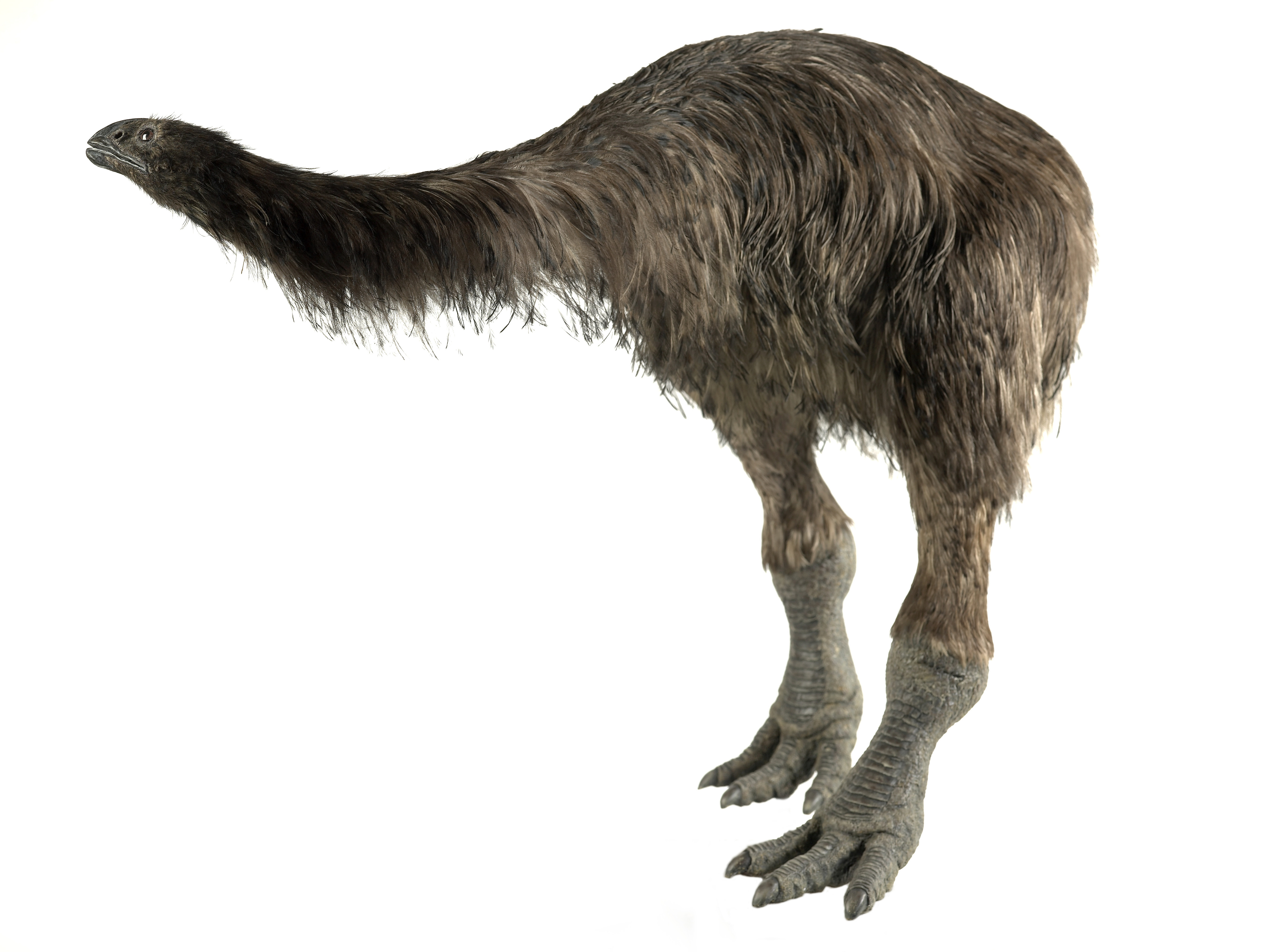 Broad-billed Moa clipart #3, Download drawings