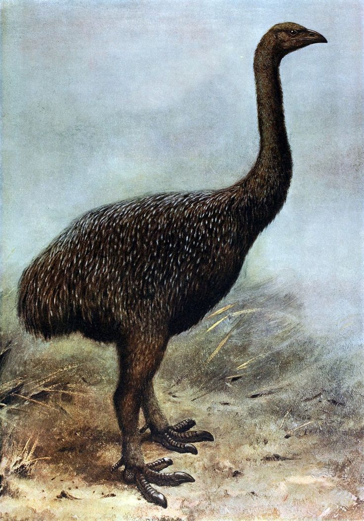 Broad-billed Moa clipart #7, Download drawings