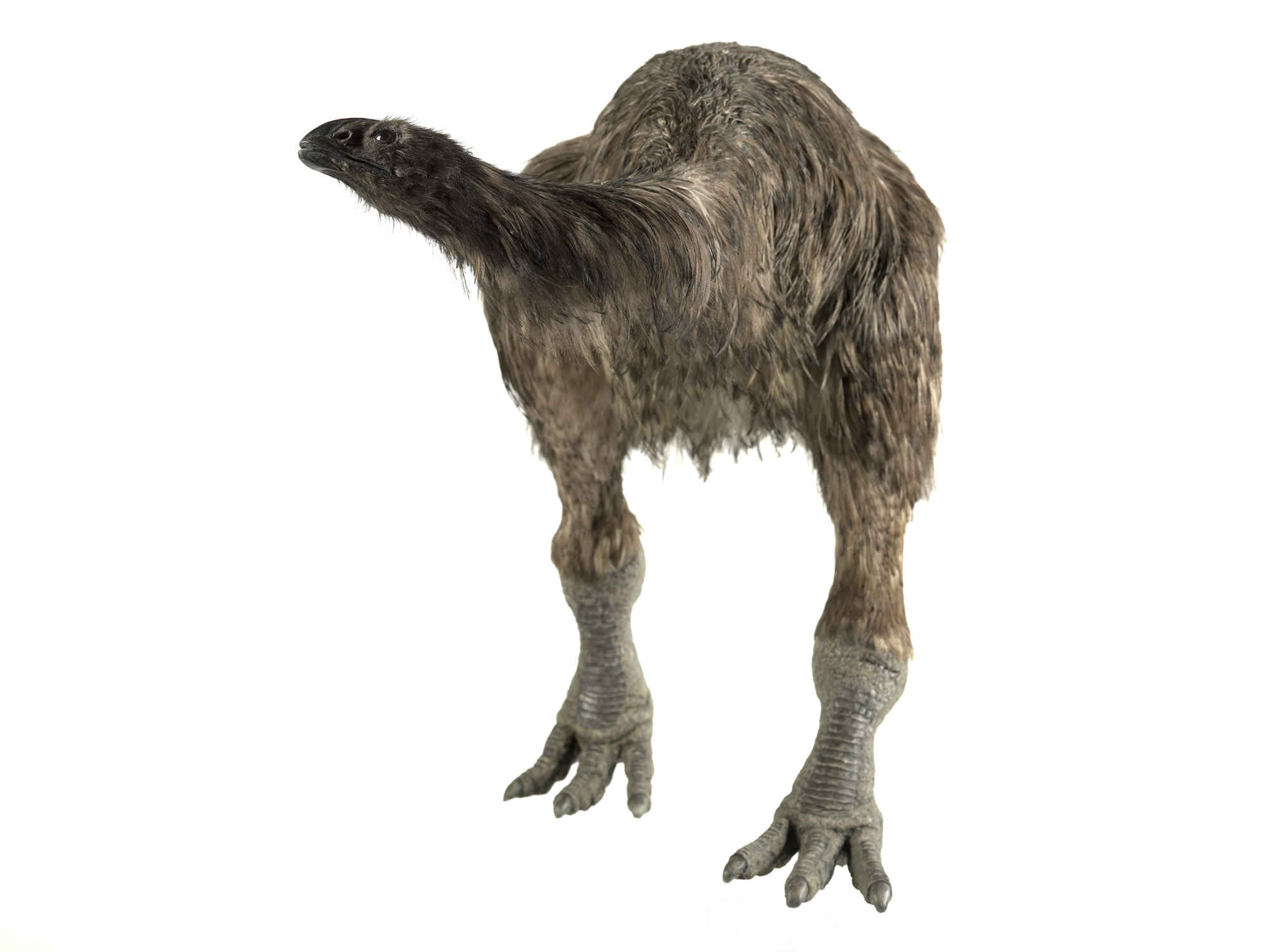 Broad-billed Moa clipart #1, Download drawings