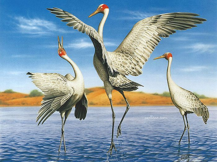 Brolga clipart #14, Download drawings